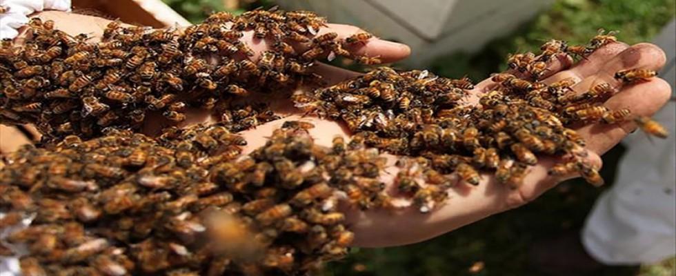 Arılar tarım işçilerine saldırdı: 19 yaralı...