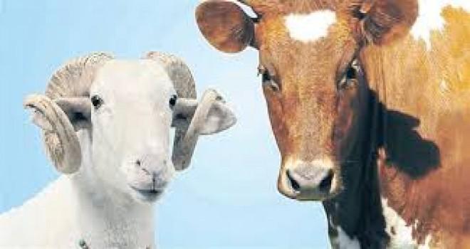 Kurbanlık hayvan sıkıntısı yok...