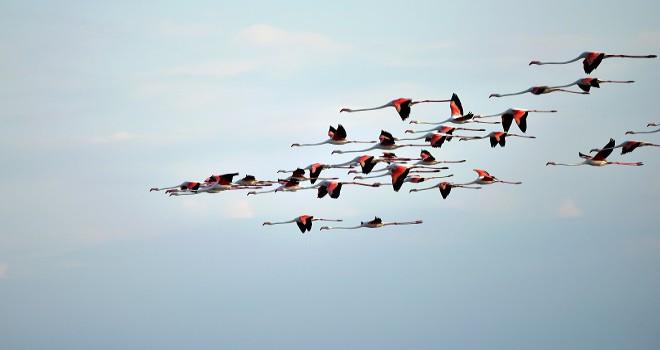 Flaminggo nüfusu iki kat arttı...