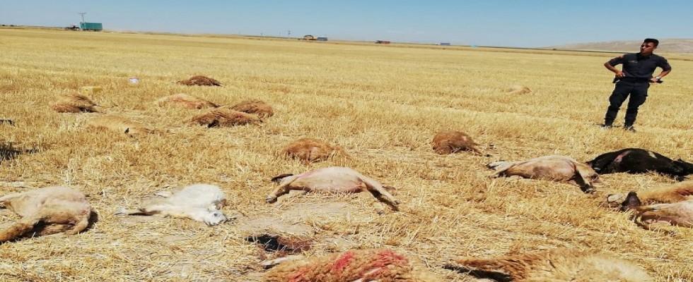 Hayvanlarını otlatmaya götürdü, 42 si birden yere yığıldı...