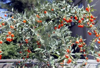 Beypazarında yetiştirildi adı: goji berry